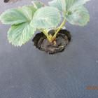 Посадка клубники весной на агроволокно