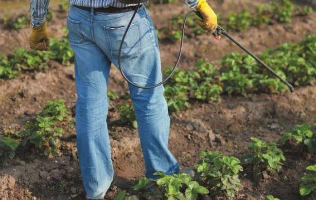 Для чего нужна осенняя обработка клубники?