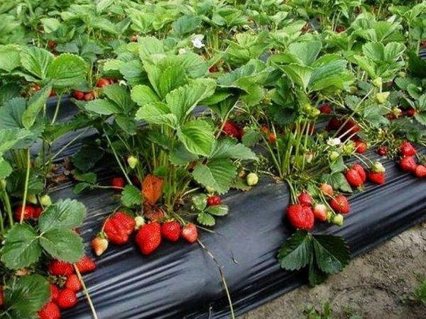 Сорт клубники Азия, фото