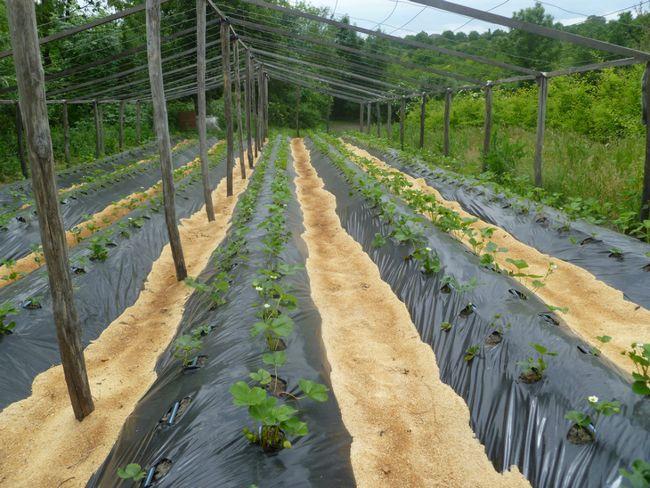 Выращиванье клубники в теплице 298