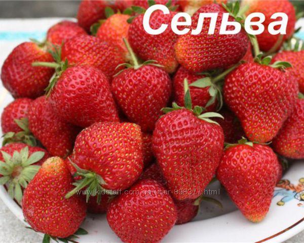Клубника Сельва