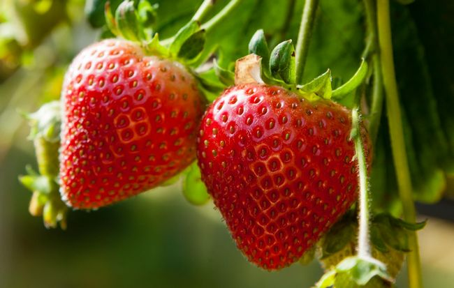 Картинки по запросу Repaired strawberry varieties