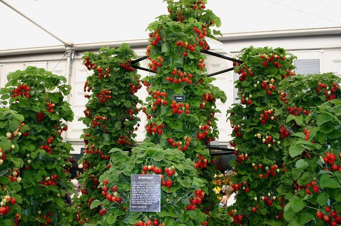 Форум выращивание клубники