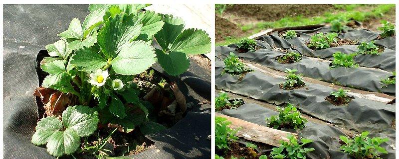 Как посадить клубнику на плёнку