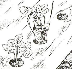 Клубника: посадка и уход весной