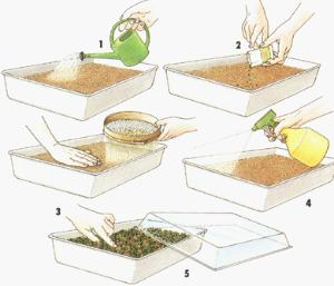 Клубника семенами - как сажать?
