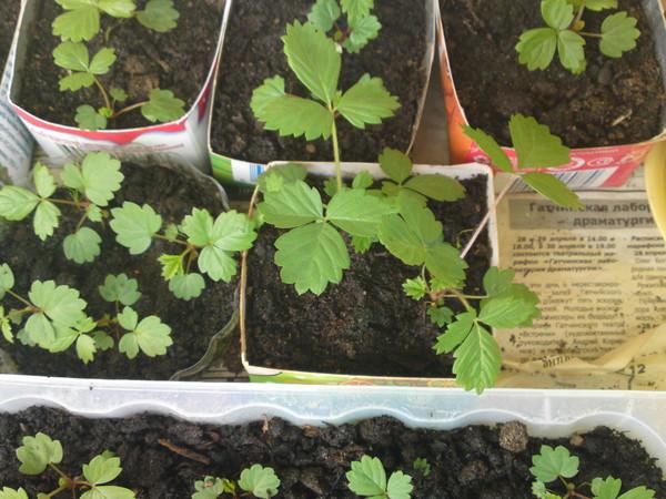 Как вырастить клубнику из семян в домашних условиях 7