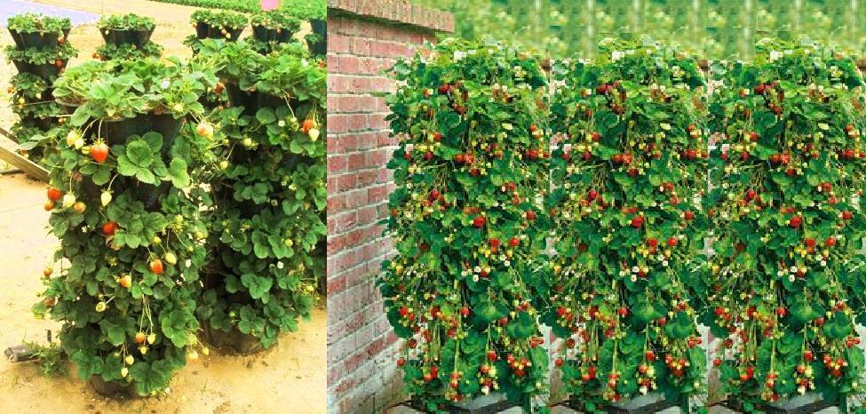 Когда лучше пересадить клубнику весной или осенью