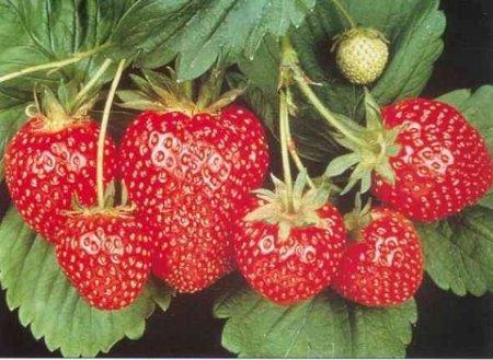 Ремонтантная клубника - выращивание и уход