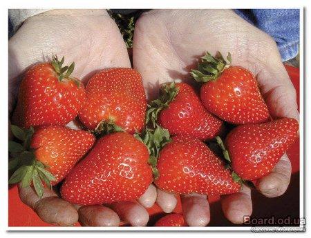 Ампельная клубника посадка, уход и выращивание