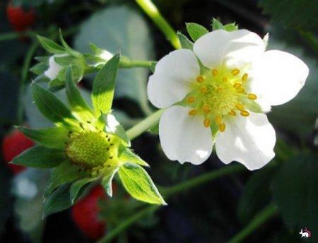 Клубника: уход во время цветения