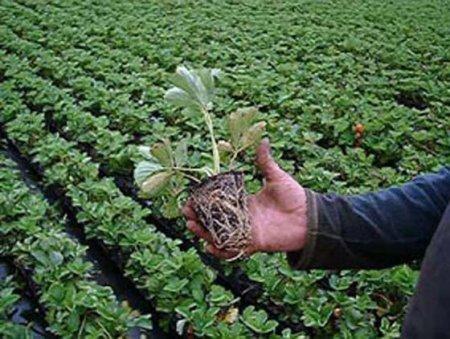 Клубника семенами посадка и уход