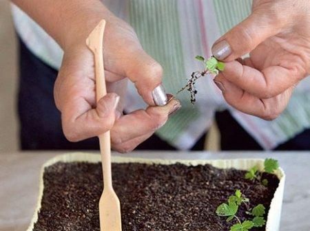 Как сажать клубнику из семян