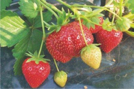 Клубника Мармелада – сладкая ягода