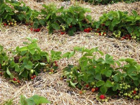 Какие сорта клубники выбирать и на какой почве высаживать